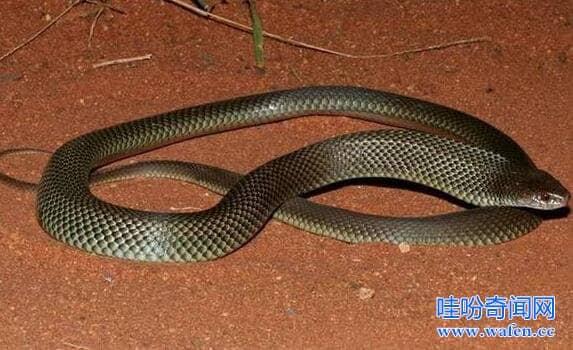 澳洲棕伊澳蛇