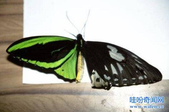 皇蛾阴阳蝶