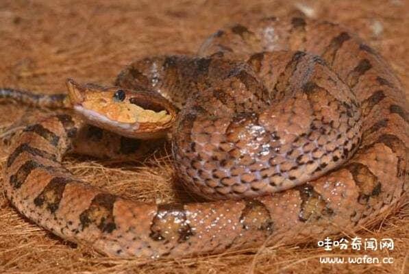 世界上最大的五步蛇