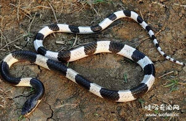 中国最毒的银环蛇