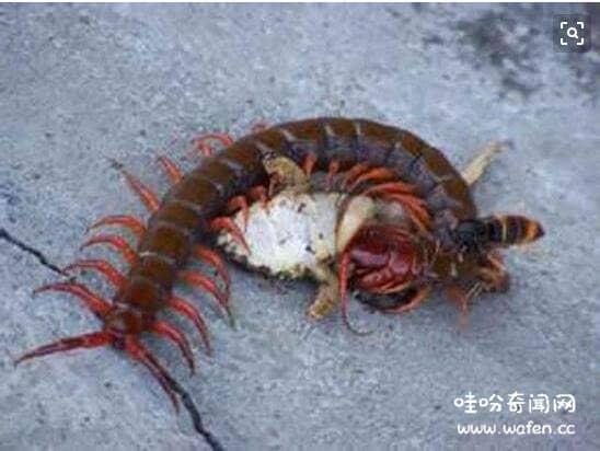真实的蜈蚣吃蛇事件