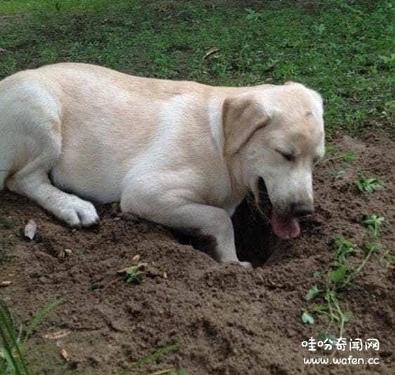 狗狗为什么喜欢刨土