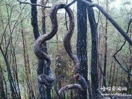安徽巨蟒渡劫事件
