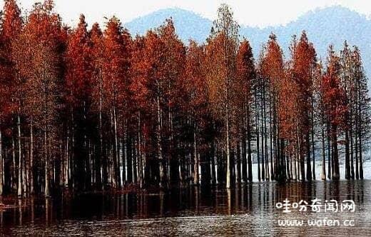 世界上寿命最长的树