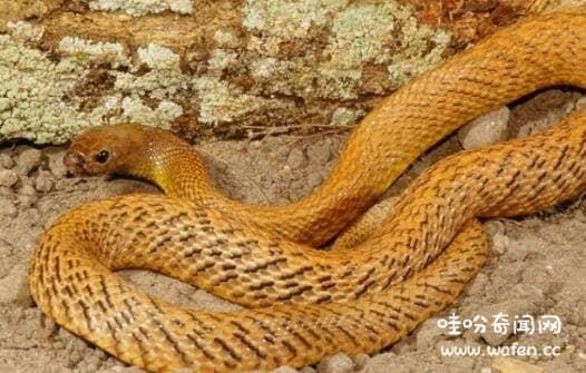 世界最毒的毒蛇第一名图片
