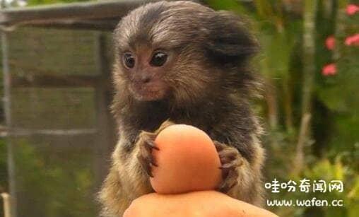 世界上最小的猴子是什么猴