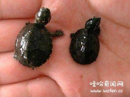 罗蒂岛蛇颈龟