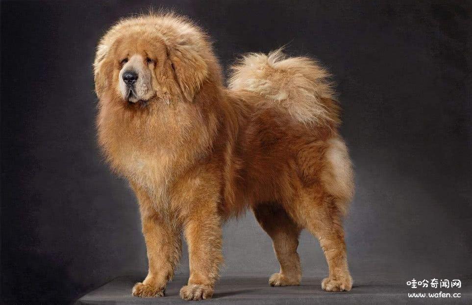 狗,最贵的狗,奇闻,奇闻异事,奇闻网