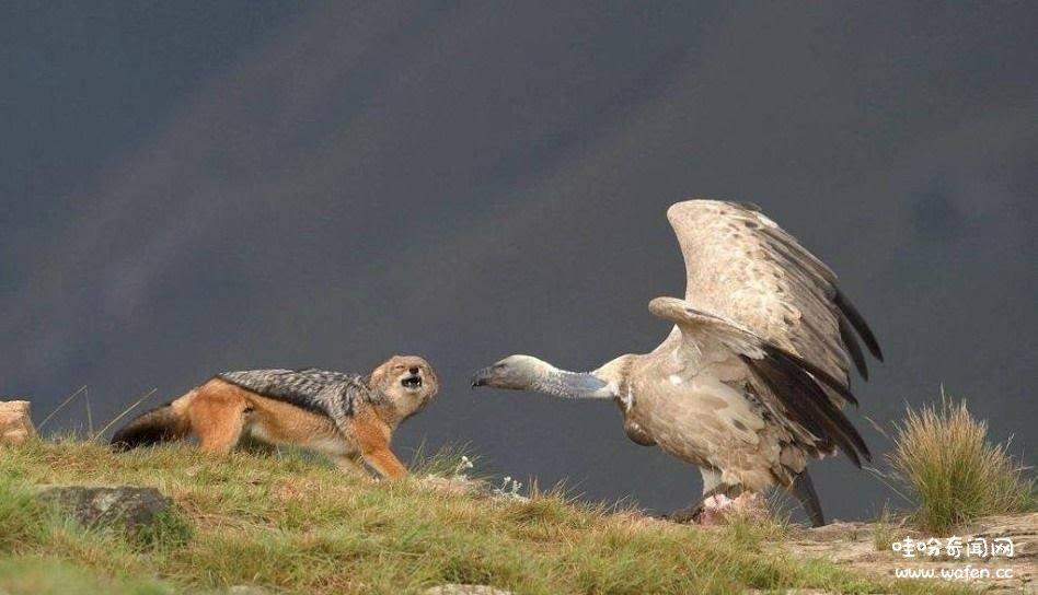 秃鹫,奇闻,奇闻异事,秃鹫尸体