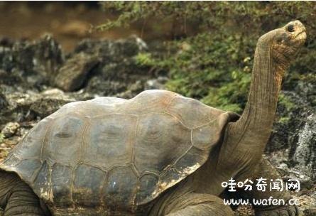 乌龟,奇闻,奇闻异事,物种灭绝