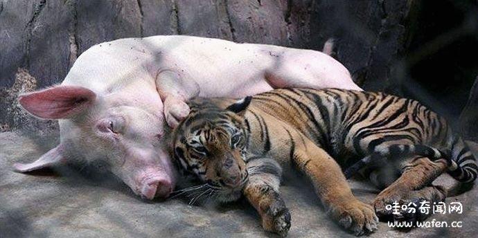 小老虎,母猪,奇闻,奇闻异事