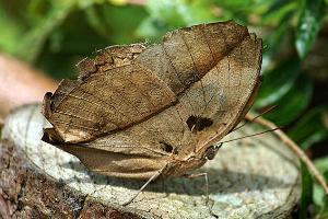 这片枯叶是一只完全伪装的蝴蝶 如果不仔细看 会被它骗过