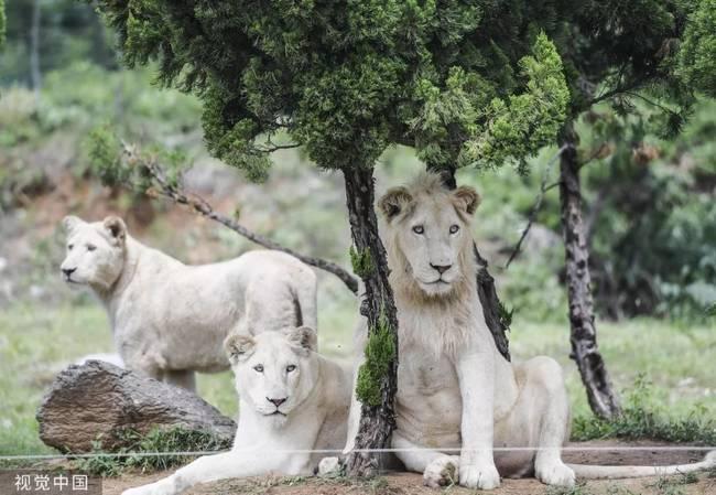 ▲资料图片:白化非洲狮