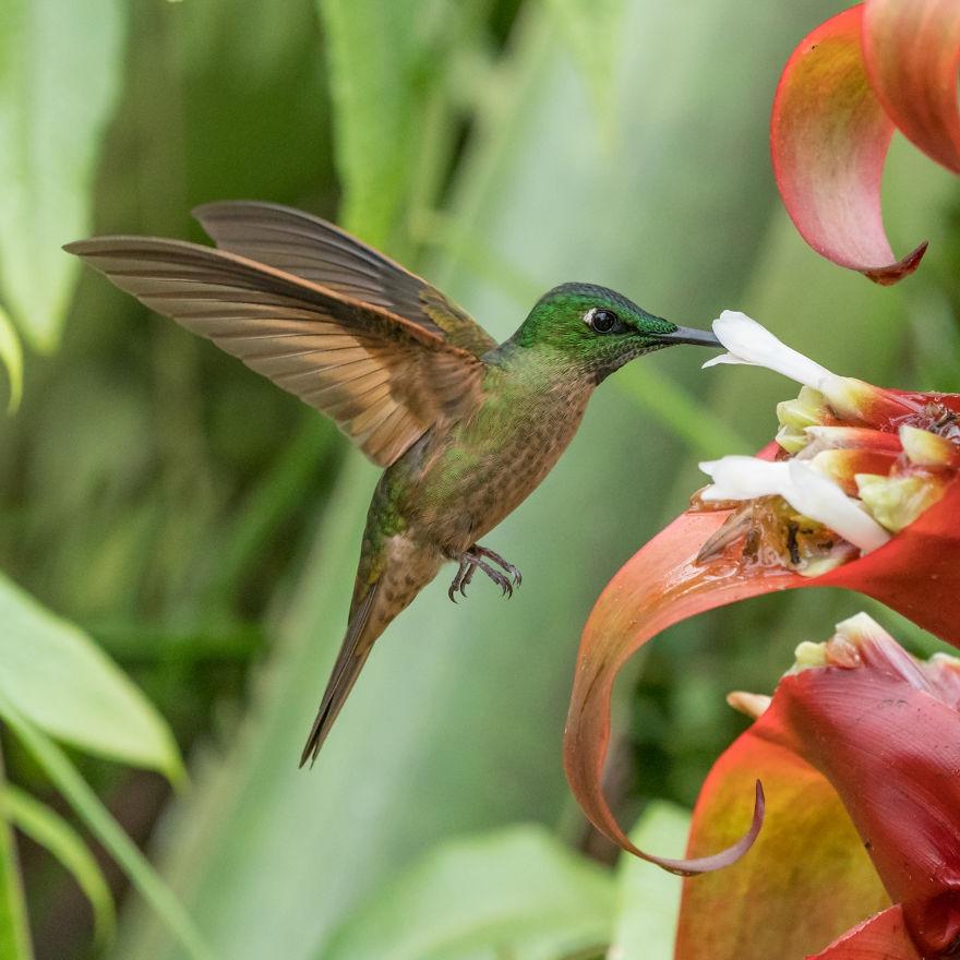 厄瓜多尔 丛林中的小精灵 如此漂亮的小蜂鸟